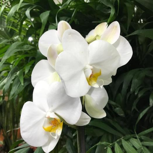 Фаленопсис Белый: букеты цветов на заказ Flowwow