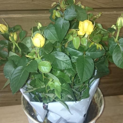 Роза горшечное Патио: букеты цветов на заказ Flowwow