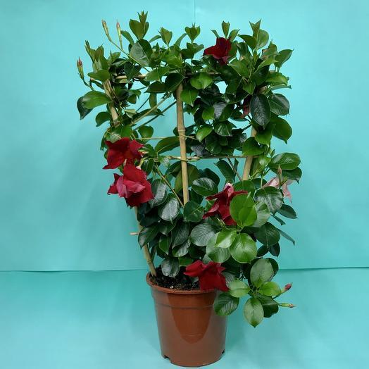 Мандевилла: букеты цветов на заказ Flowwow
