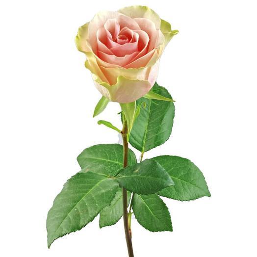 Роза FRUTTETO 60 см