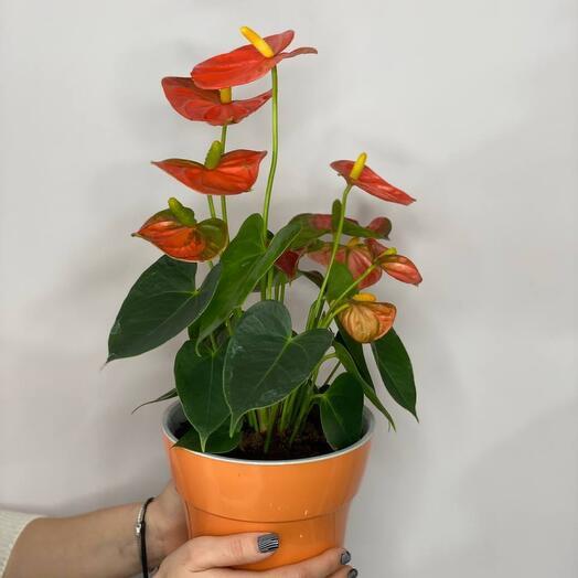 Антуриум оранжевый (пересаженный в горшок)
