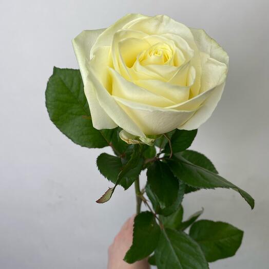 Роза аваланж 70 см