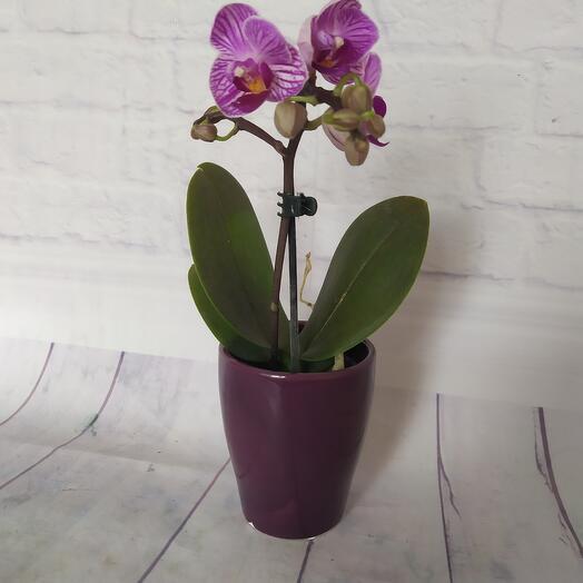 Орхидея мини в керамическом  кашпо