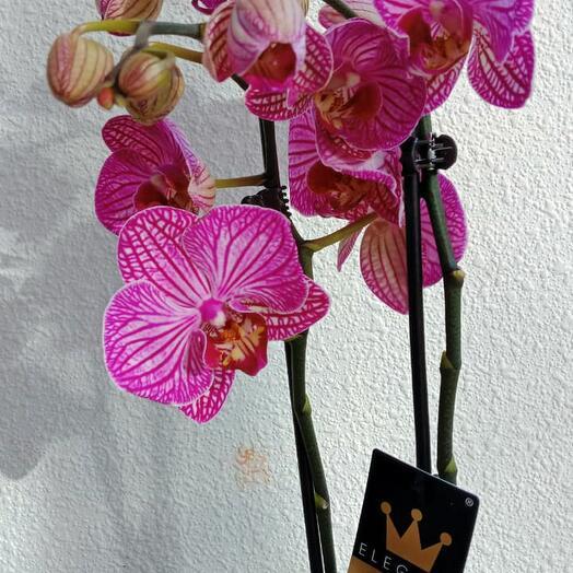Фоленопсис (Орхидея) 2-3 ветки