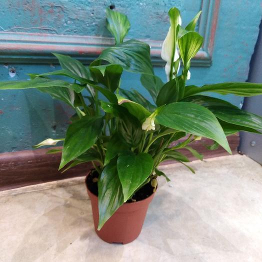 Спатифиллиум: букеты цветов на заказ Flowwow