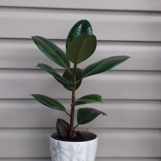 Горшечное растение Фикус