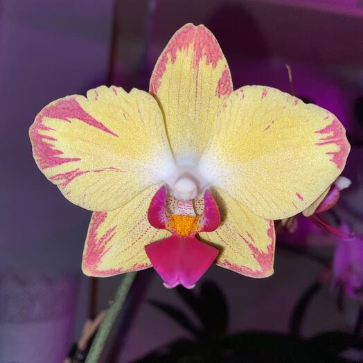 Орхидея фаленопсис сорт Попугай Комнатное растение