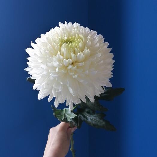 Одноголовая хризантема