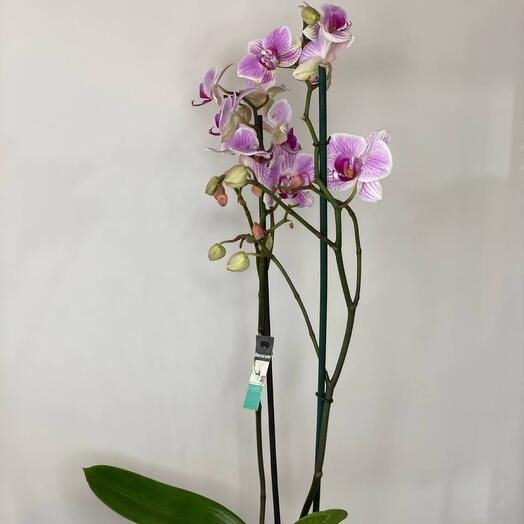 Орхидея двухствольная розовая
