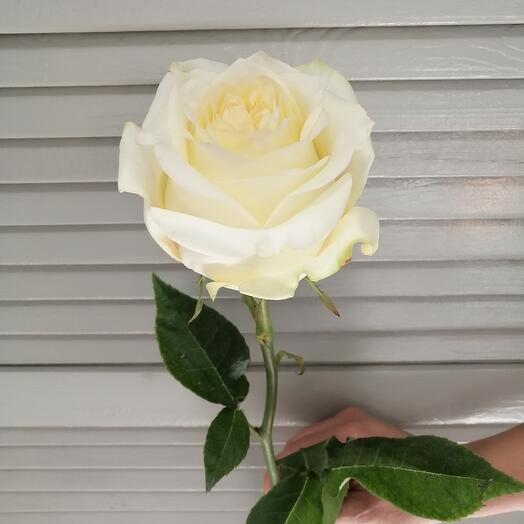 Роза Канди лайт