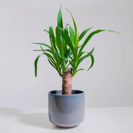 """Растение """"Юкка штамбовая"""" пересаженное в Сине-бежевый горшок"""