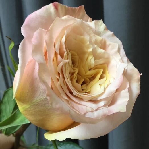 Роза Шиммер 70 см