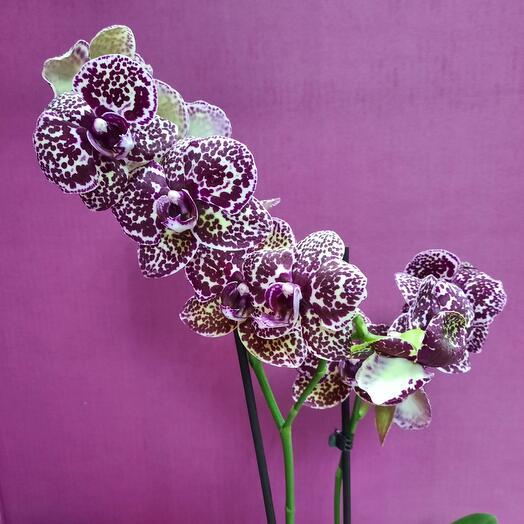 Орхидея фаленопсис Кошачий глаз