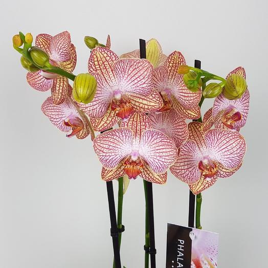 Орхидея фаленопсис 3 стрелы: букеты цветов на заказ Flowwow