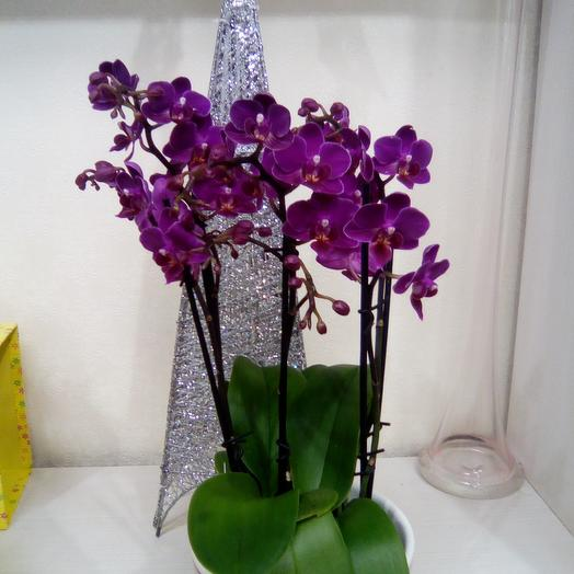 Orchid: flowers to order Flowwow