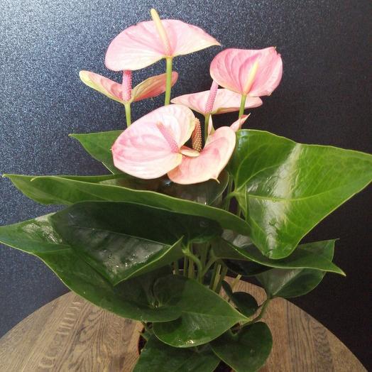 Anthurium: flowers to order Flowwow