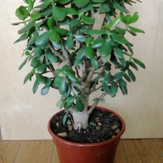 Денежное дерево(Крассула)
