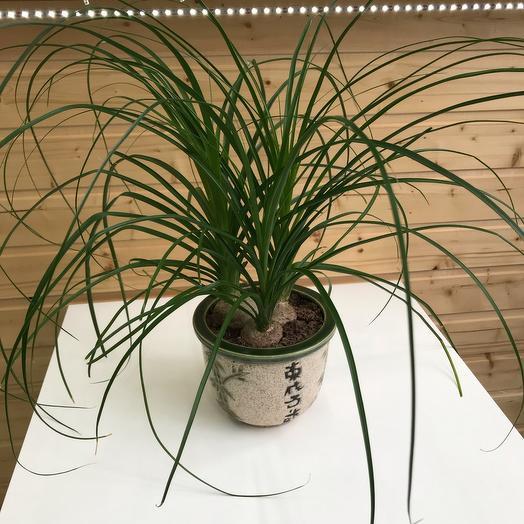 Комнатное растение (Нолина)