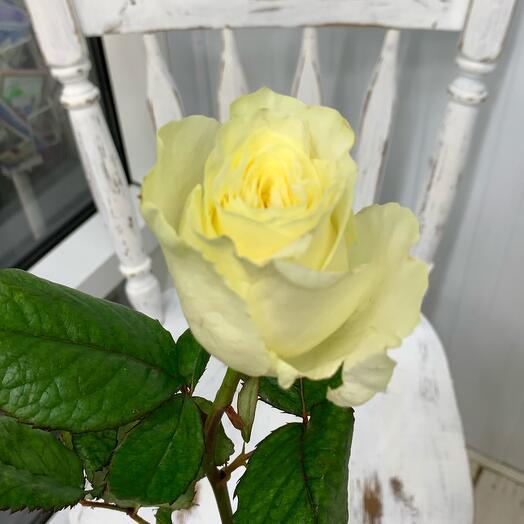 Роза белая с зелено/желтым оттенком