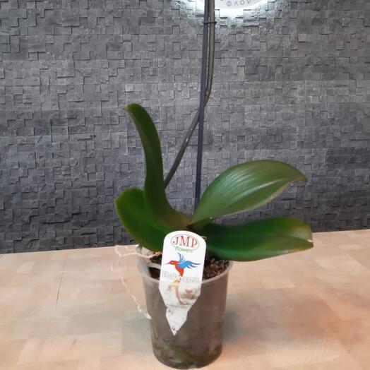 Орхидея белая вне цветения