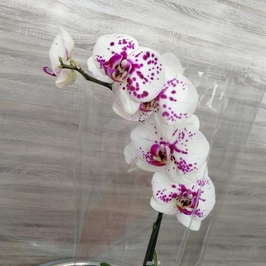 ✅ Орхидея Фаленопсис