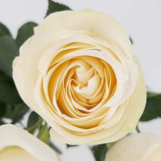 Роза Вендела Эквадор 60 см