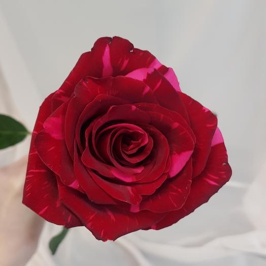 Роза сорта Красная пантера