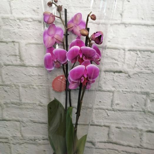 Комнатное растение,орхидея фаленопсис,2 стебля