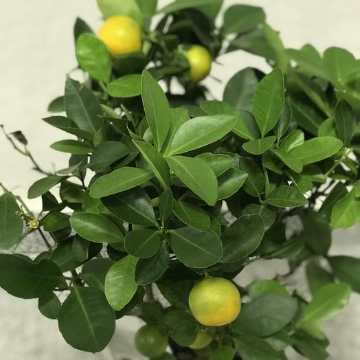 Японский мандарин: букеты цветов на заказ Flowwow