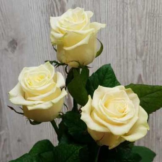 Белая роза 3 шт