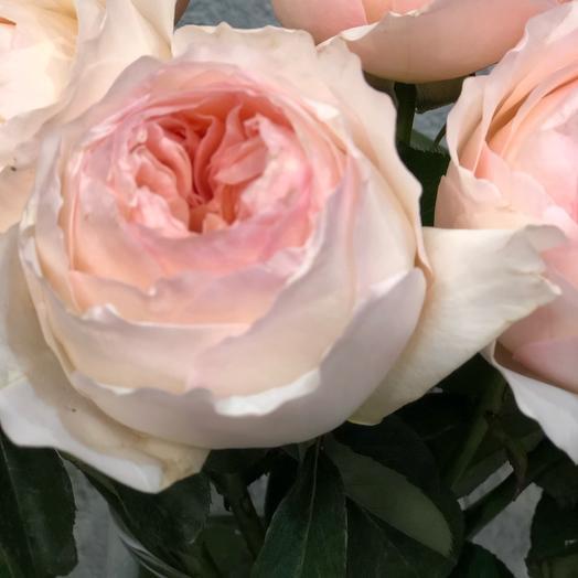 Роза садовая Джульетта