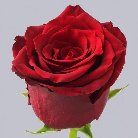 Роза « Эксплорер»