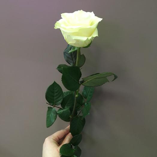 Роза белая (Мондиаль)