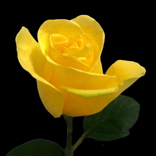 Роза Penny Lane 60  см
