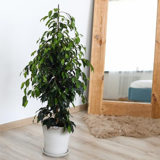 Комнатное растение фикус Бенжамина