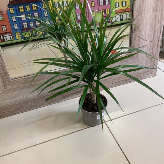 Комнатное растение Драцена
