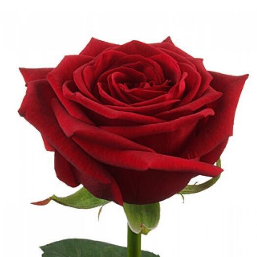Роза Ред Наоми (Red Naomi) 60см