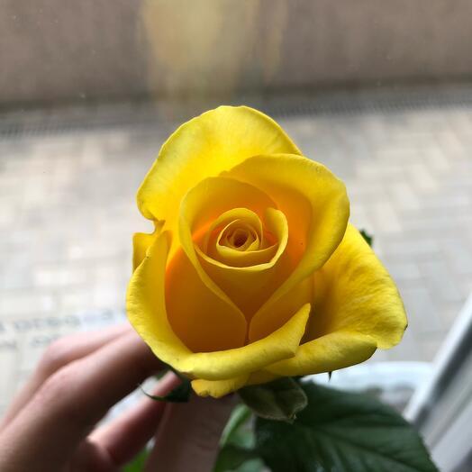 Роза Кения 40см