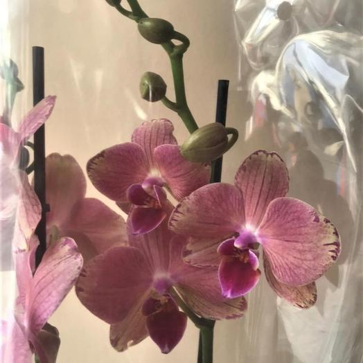 Орхидея биг лип Пирейт Пикоти