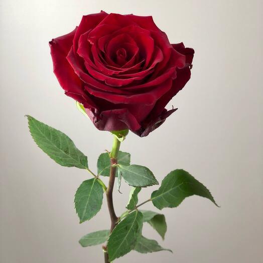 Роза Эквадор 60см