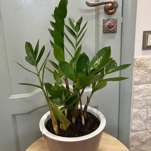 Комнатное растение Замеокулькас