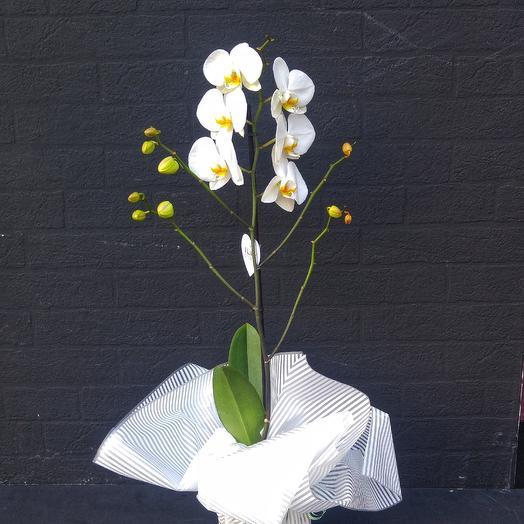 Орхидея Фаленопсис белая: букеты цветов на заказ Flowwow
