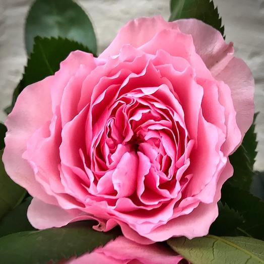 Роза пионовидная «Майра»