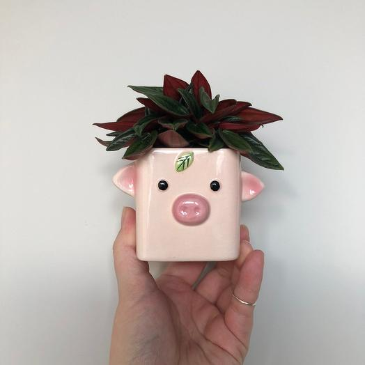 Пеперомия Россо в горшочке свинка