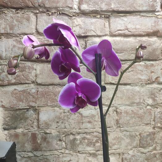 Орхидея Малина