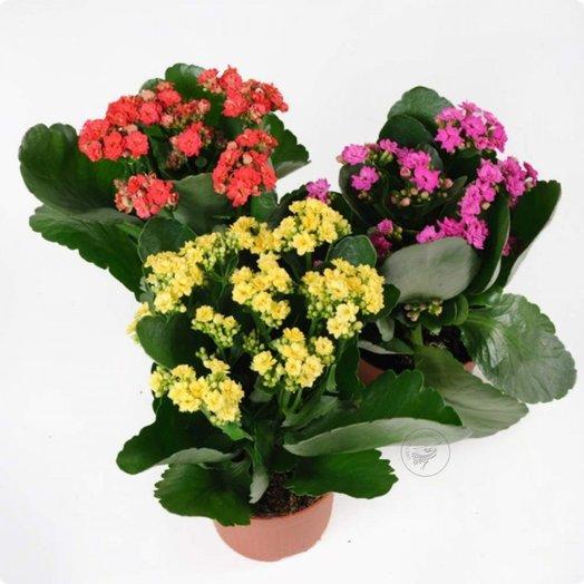 Каланхоэ Кал/Таранта микс: букеты цветов на заказ Flowwow
