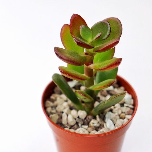Крассула Минор (Crassula Ovata Minor): букеты цветов на заказ Flowwow