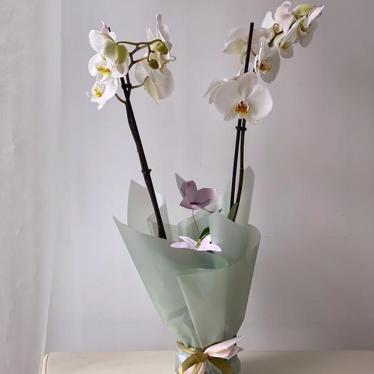 Белоснежная орхидея 2 ст