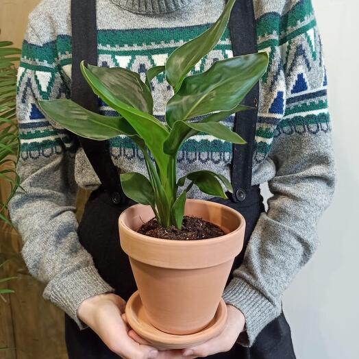 Комнатное растение Стрелиция Регина в глиняном горшке