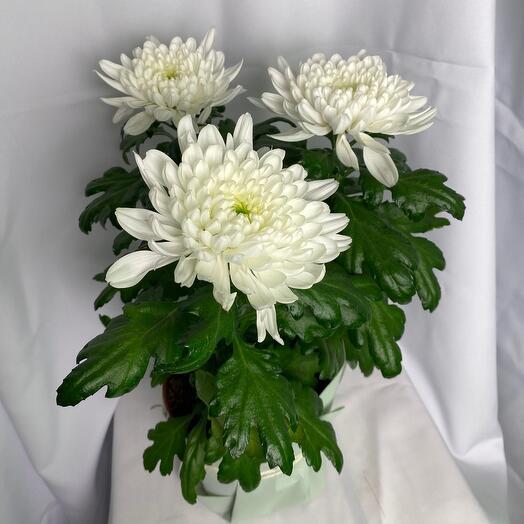 Три хризантемы